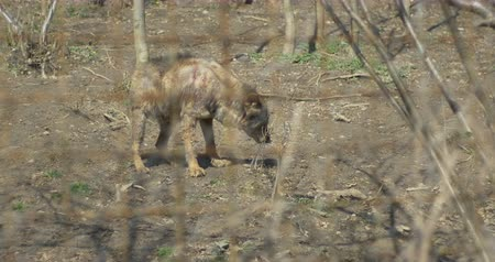 волк : An injured brown baby wolf , wretched, living in captivity in bad conditions.