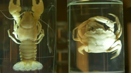 putrefaction : Crab and Crayfish for in formalin solution kept for studying, an unrotten.