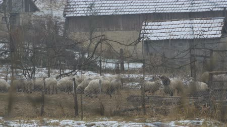 sheepfold : Sheep kept inside a fold, during the wintertime.