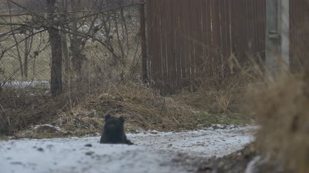 pointing dogs : Black curly dog sitting on the ground on a snowy winter road. Stock Footage