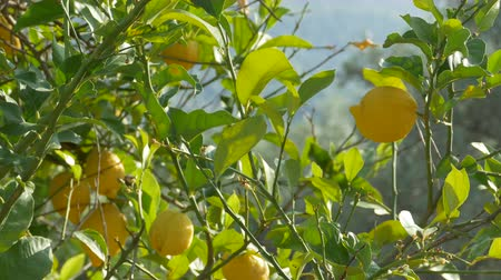 плодоношение : Lots of ripe lemons through the canopy.
