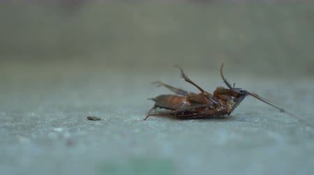 creeping : Toxic sprayed big cockroach is dying on the floor. Stock Footage