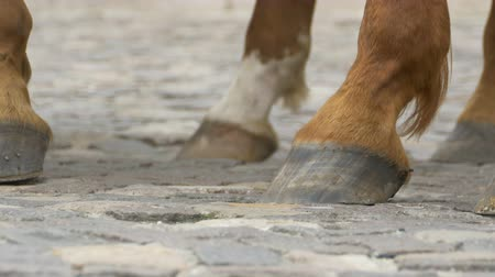 taranmamış : Ground view of horse hooves on the cobblestone. Stok Video