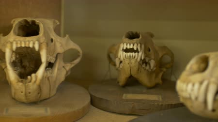 stealth : Various carnivorous animals skulls in Zoological laboratory.