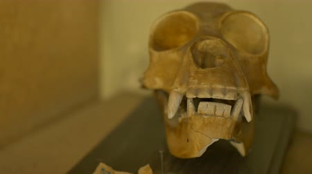 клык : View of a skull of a gibbon exposed on a shelf. Стоковые видеозаписи
