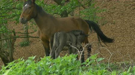 poník : Mare nursing her foal in the woods.