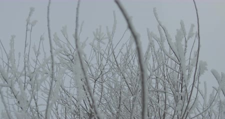 snow covered spruce : View of a frozen bush tree on grey winter day. Stock Footage