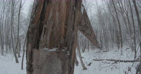 View of a long fallen tree in the snowed forest.