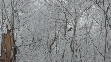cam : View of a squirrel on the snowed trees, Stok Video