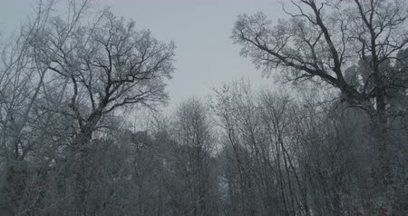 View of frozen beautiful twisted trees in morning winter sky.
