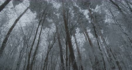 View of snowed canopy of tall trees in the forest.