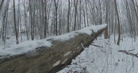 View of a big fallen snowed tree in forest.