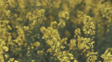 canola seeds : Blooming canola field. Rape on the field in summer. Bright Yellow rapeseed oil. Flowering rapeseed.