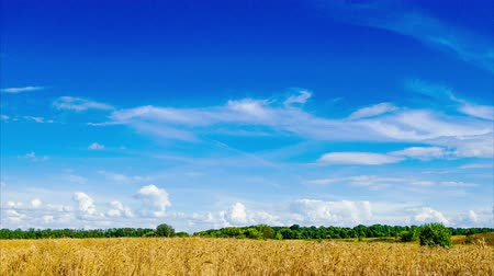 Field of wheat under the blue sky with clouds. Time lapse. Stock Footage