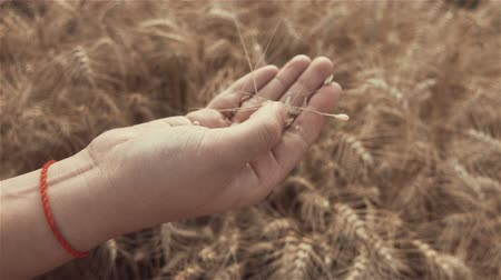 Close-up of of Womans hand touching golden wheat field. Girls hand touching wheat ear closeup.