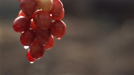 Grape with dew drop after rain Stock Footage