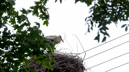 fészek : Stork standing in the nest. Stock mozgókép