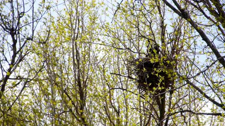 fészek : Raven lands in the nest on a tree.