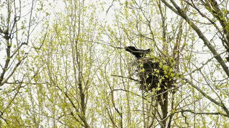 fészek : Two ravens in the nest on a tree. Stock mozgókép