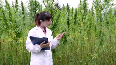 bitkisel ilaç : Female scientist holding a clipboard and checking hemp plants, leaves and flowers in the field, herbal medicine concept