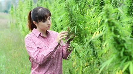 конопля : Young woman in a hemp field checking plants and flowers, farming and cultivation concept