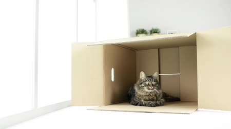 tektura : Beautiful long hair cat at home lying down in a cardboard box Wideo