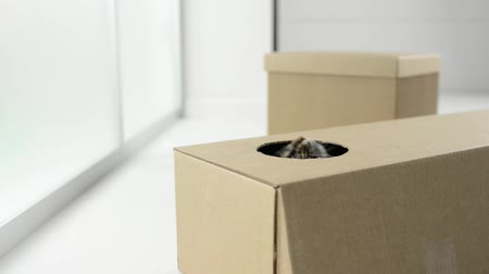 tektura : Cute cat playing, hiding and popping out from a cardboard box