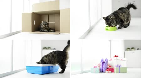 cat bowl : Beautiful long hair cat at home video collage, she is relaxing in a box, eating pet food, using the litter box and jumping out from a gift box Stock Footage