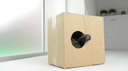 tektura : Cute cat hiding in a box at home and playing with a rope, she is trying to catch it with her paw
