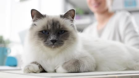 yumuşaklık : Beautiful long hair cat lying down on a desk, a woman is smiling on the background and caressing her cat