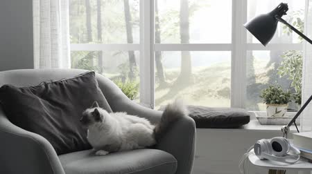 bichano : Beautiful birman cat on sofa at home next to a window