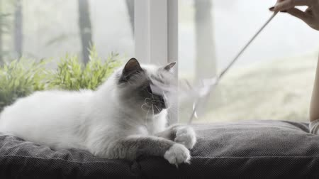ileri : Happy cute cat lying next to a window and playing with her owner at home