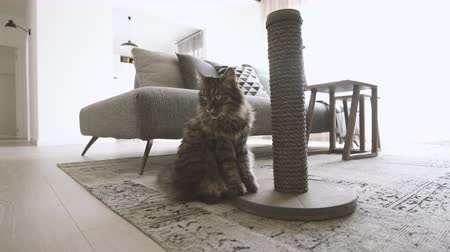 bichano : Long hair cat at home: she is walking, scratching nails and lying down on the carpet, video montage Vídeos