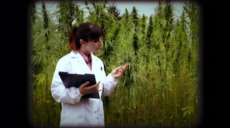 thc : Female scientist holding a clipboard and checking hemp plants, leaves and flowers in the field, herbal medicine concept