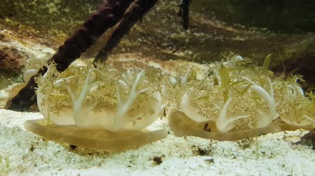yaban hayatı : A tropical group of yellow jellyfish in a aquarium Stok Video