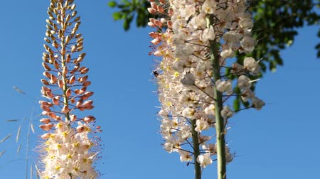 опылять : In a village garden on a sunny day, a bee collects nectar from an eremurus flower.