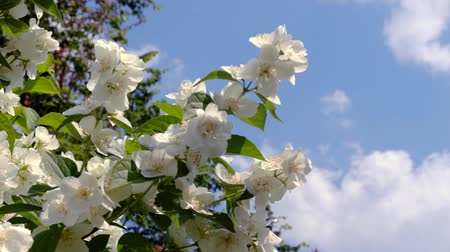 ジャスミン : In the village garden, blossoming jasmine branches sway in the light summer wind.