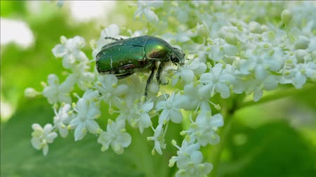 mürver : Green Rose ChaferCetonia Aurata on a flower elderberry. Closeup. Stok Video