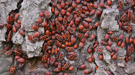 firebug : Colony of red firebugs close-up. Stock Footage