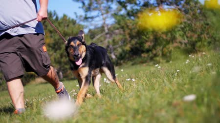 pásztor : Dog trainer and young german shepherd free in the field