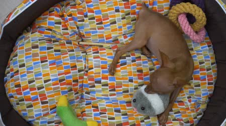 pincher : Top view of cute miniature ginger pinscher puppy playing in his bed - video in slow motion