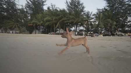 pincher : Happy cute miniature ginger pinscher puppy running on the tropical sandy beach - video in slow motion