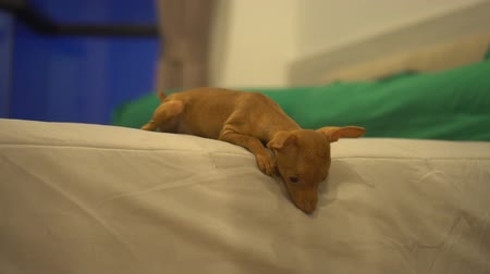 pincher : Closeup video of cute miniature ginger pinscher puppy playing on the bed Stock Footage