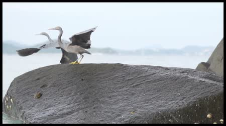 sacra : Two pacific reefs heron standing on rocks and hunting for fish Stock Footage