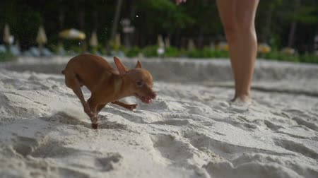 pincher : Happy cute miniature pinscher puppy running on the tropical sandy beach - video in slow motion