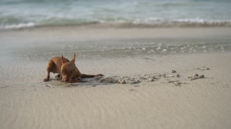 pincher : Happy cute miniature pinscher puppy digging sand on the tropical beach over blurred sea background - video in slow motion Stock Footage