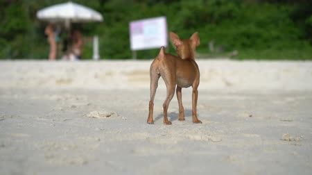 pincher : Happy cute miniature pinscher puppy watching while standing on the tropical sandy beach over blurred - video in slow motion Stock Footage
