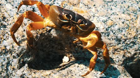 vodní : Big brown stone crab witm missing ine claw walking on the rock in sunny day