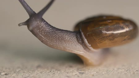 slithering : Macro view of garden snail moving on concrete floor - video in slow motion