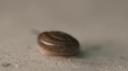lerdo : Macro view of garden snail moving on concrete floor - video in slow motion
